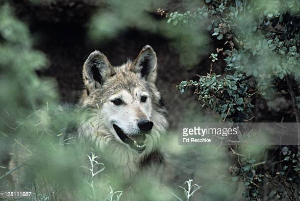 Mexican Gray Wolf, Canis lupus baileyi. Once found throughout the mountains. Regions of Arizona. Fewer than 50 remain in the wild.