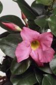 Mexican love vine or Pink dipladenia Apocynaceae