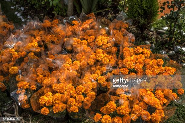 Mexican marigold or Cempazuchitl