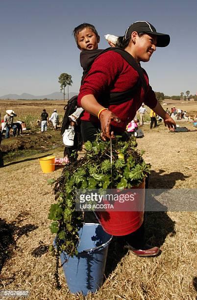 mexican mazahua woman collects quelite in la presita reservoir in loma de