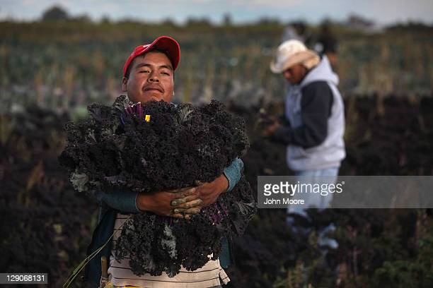 Mexican migrant workers harvest organic kale at Grant Family Farms on October 11 2011 in Wellington Colorado Although demand for the farm's organic...