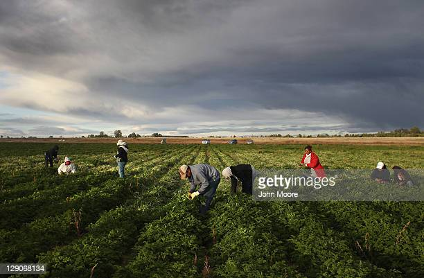 Mexican migrant workers harvest organic parsley at Grant Family Farms on October 11 2011 in Wellington Colorado Although demand for the farm's...