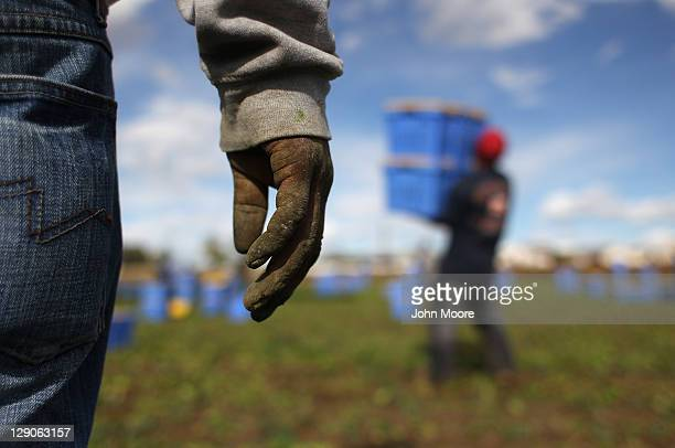 Mexican migrant workers harvest organic spinach at Grant Family Farms on October 11 2011 in Wellington Colorado Although demand for the farm's...