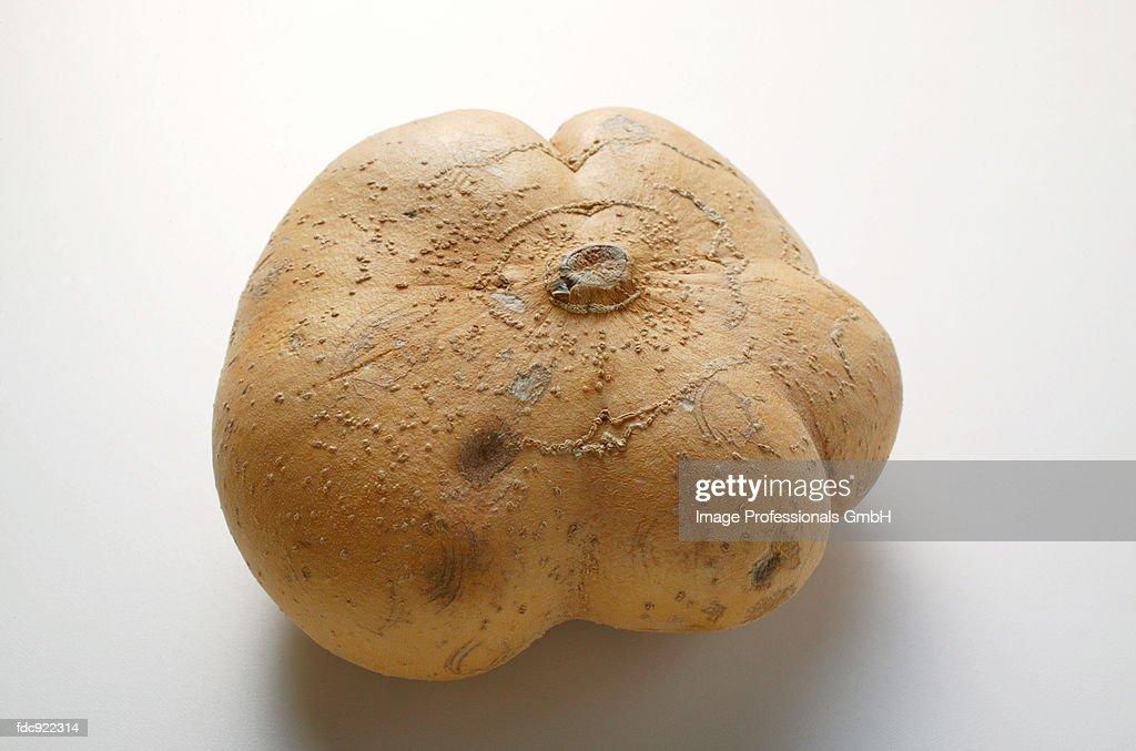 Mexican potato (Jicama) : Stock Photo