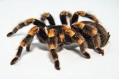 Mexican redknee tarantula (Brachypelma smithi) isolated on white background