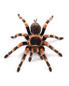 Mexican redknee tarantula (Brachypelma smithi), female