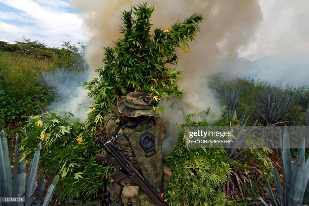 A Mexican soldier burns marijuana plants found amid a field of blue agave - the plant used for the production of tequila - in El Llano, Hostotipaquillo, Jalisco State, Mexico on September 27, 2012. Members of the Mexican military conducted an operation in the area where so far they have destroyed 40 hectares of marijuana plantations and burned more than 50 tons of plants. AFP PHOTO / Hector Guerrero