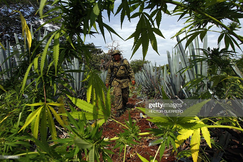 A Mexican soldier finds a marijuana plantation amid a field of blue agave - the plant used for the production of tequila - in a field at El Llano, Hostotipaquillo, Jalisco State, Mexico on September 27, 2012. Members of the Mexican military conducted an operation in the area where so far they have destroyed 40 hectares of marijuana plantations and burned more than 50 tons of plants. AFP PHOTO / Hector Guerrero