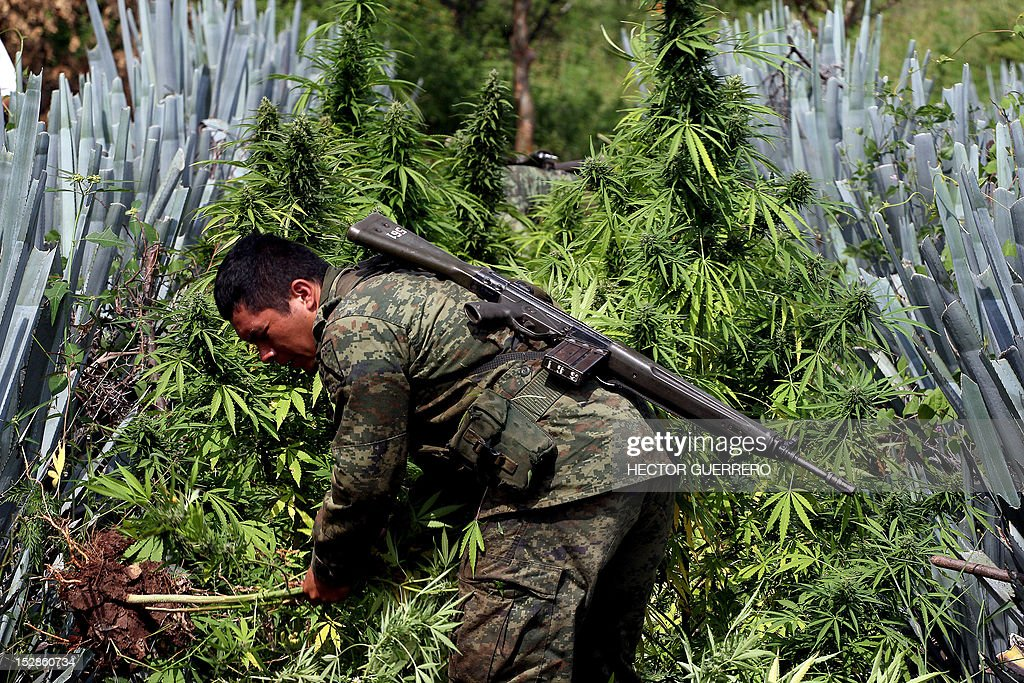 A Mexican soldier pulls up a marijuana plant found amid a field of blue agave - the plant used for the production of tequila - in a field at El Llano, Hostotipaquillo, Jalisco State, Mexico on September 27, 2012. Members of the Mexican military conducted an operation in the area where so far they have destroyed 40 hectares of marijuana plantations and burned more than 50 tons of plants. AFP PHOTO / Hector Guerrero