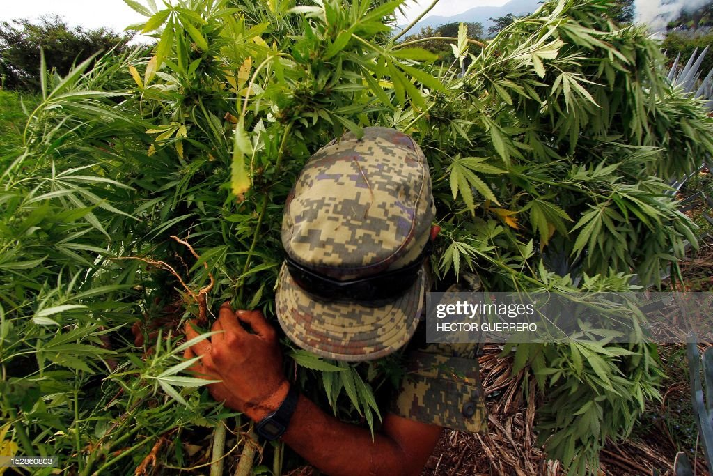 A Mexican soldier pulls up marijuana plants found amid a field of blue agave - the plant used for the production of tequila - in El Llano, Hostotipaquillo, Jalisco State, Mexico on September 27, 2012. Members of the Mexican military conducted an operation in the area where so far they have destroyed 40 hectares of marijuana plantations and burned more than 50 tons of plants. AFP PHOTO / Hector Guerrero