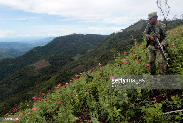 A Mexican soldier stands in a poppy field during an operation at Petatlan hills in Guerrero state Mexico on August 28 2013 Mexico is being whipped by...