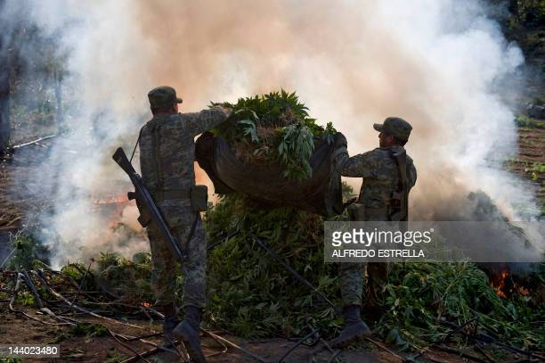 Mexican soldiers burn marijuana plants at a field in Los Algodones community Culiacan Sinaloa State Mexico on January 30 2012 Mexican soldiers found...