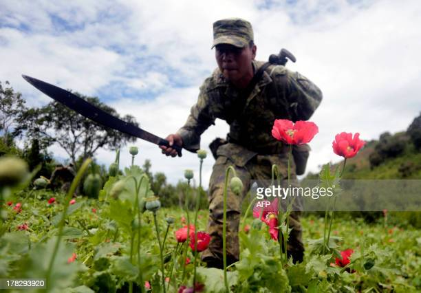 Mexican soldiers cut off poppy flowers during an operation at Petatlan hills in Guerrero state Mexico on August 28 2013 Mexico is being whipped by a...