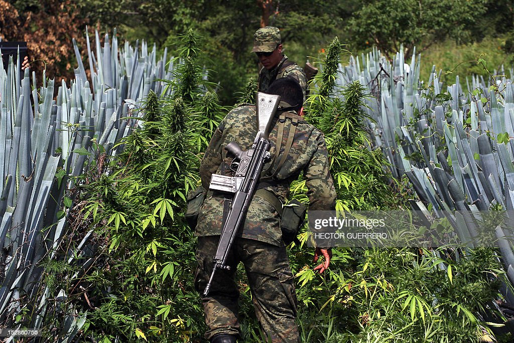 Mexican soldiers pull up marijuana plants found amid a field of blue agave - the plant used for the production of tequila - in a field at El Llano, Hostotipaquillo, Jalisco State, Mexico on September 27, 2012. Members of the Mexican military conducted an operation in the area where so far they have destroyed 40 hectares of marijuana plantations and burned more than 50 tons of plants. AFP PHOTO / Hector Guerrero