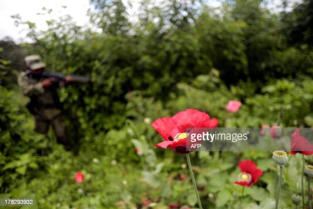 Mexican soldiers stand in a poppy flowers field before they are cut off at Petatlan hills in Guerrero state Mexico on August 28 2013 Mexico is being...