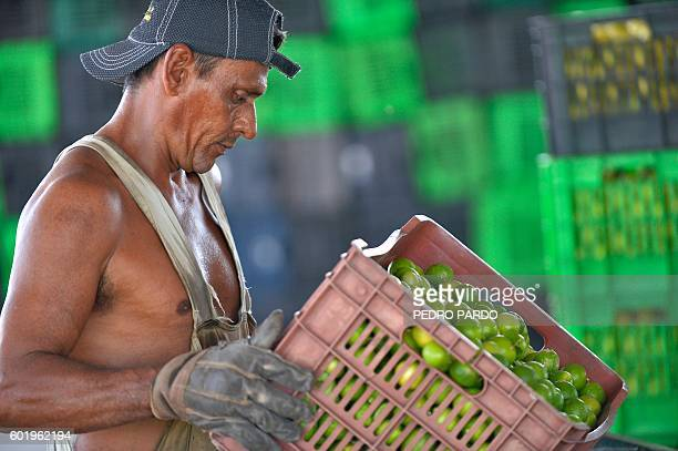 A Mexican worker carries lemons in a collection center in New Italy Michoacan State Mexico on September 8 2016 After the disappearing of the...