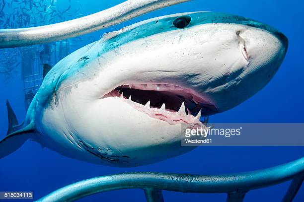 Mexico, Guadalupe, Pacific Ocean, white shark, Carcharodon carcharias, at shark cage