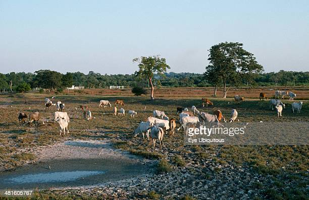 Mexico Gulf Coast Cuidad del Carmen Cattle grazing on deforested land