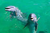 Mexico, Isla Mujeres, Bottle-nosed dolphins