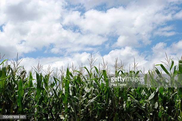 Mexico, Michoacan, Ocumicho, corn field