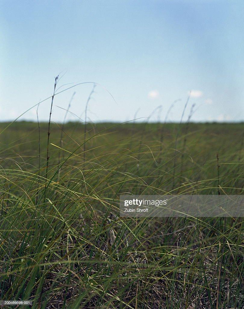 Mexico, Tulum, Sian Ka'an Biosphere Reserve, tall grass in savannah : Stock Photo