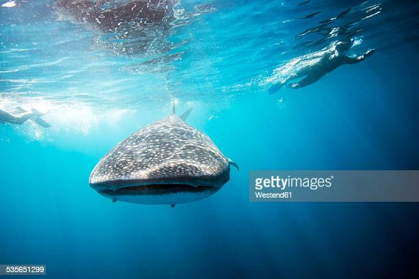 Mexico, Yucatan, Isla Mujeres, Caribbean Sea, Whale shark, Rhincodon typus, and divers