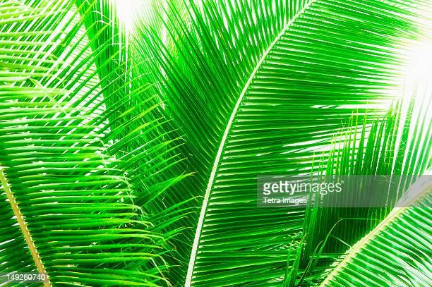 Mexico, Yucatan, Palm leaves