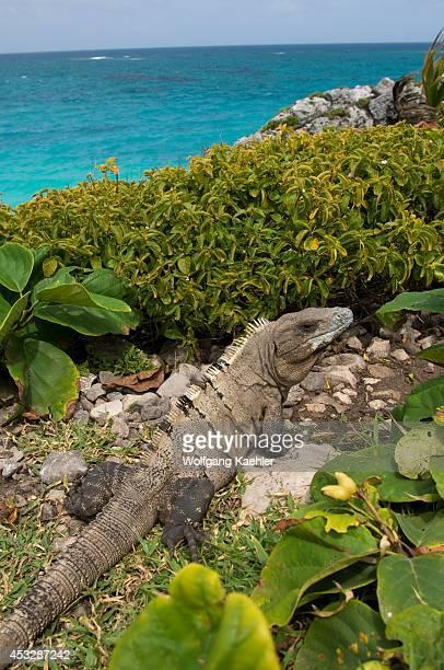 Mexico Yucatan Peninsula Near Cancun Riviera Maya Maya Ruin Of Tulum Black Iguana Ctenosaura similis