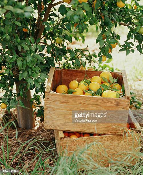 Meyer lemons in a crate.