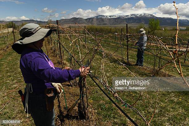 Mia Trujillo de Garcia left and Juan Portino right work on cutting back vines from pinot grigio and pinot noir grapes at Avant Vineyards on April 20...