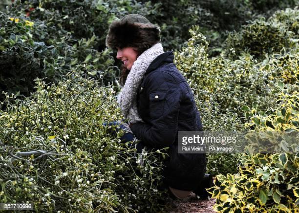 Mia Wellavize amongst mistletoe at the auction sale of holly mistletoe wreaths and Christmas trees at Bromyard Road Business Park Tenbury Wells...