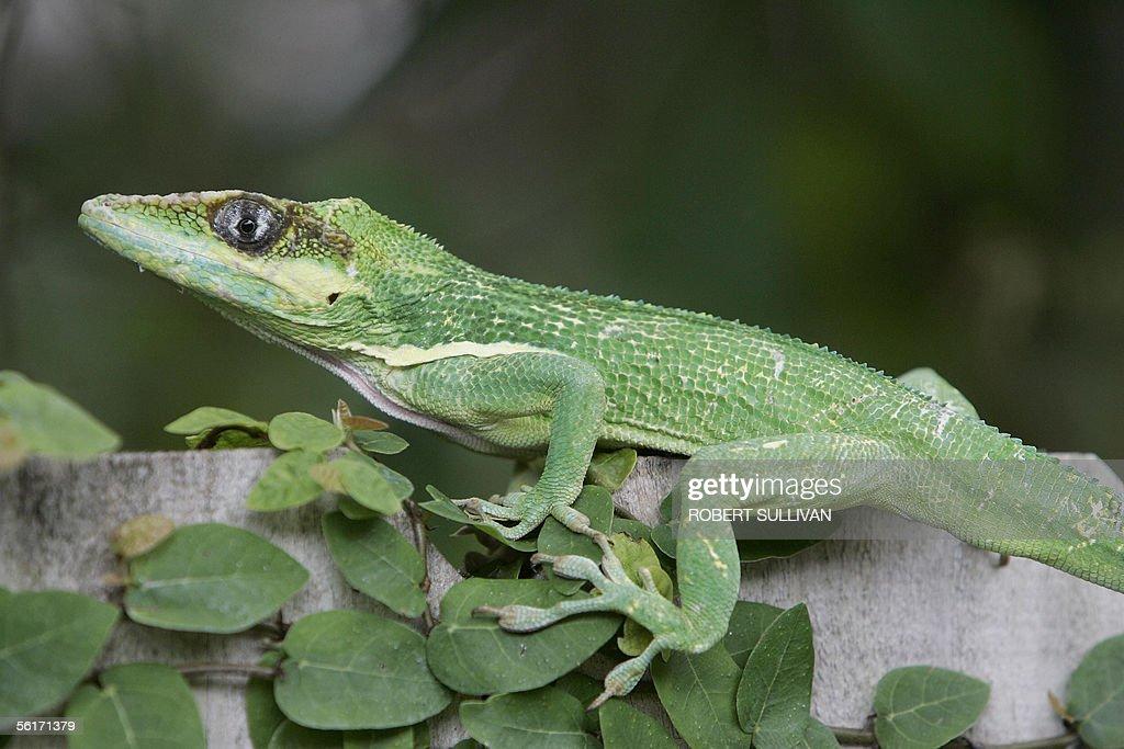 U S Lizard A Green Anole l...