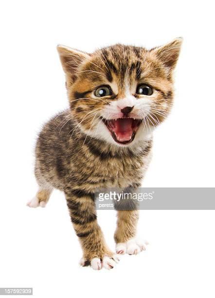 miaowing kitten