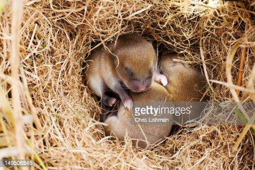 Mice in nest : Stock Photo
