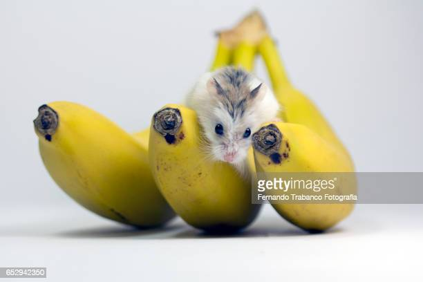 Mice in the pantry eating fruit