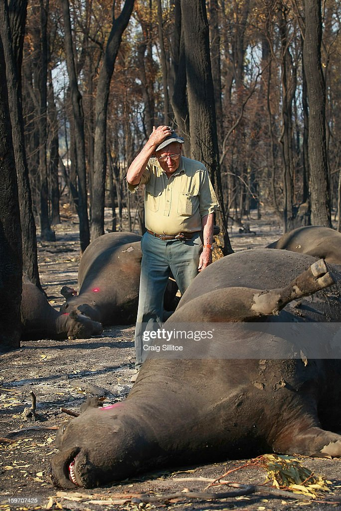 Michael Dennis, 80, stands beside the charred corpse of one of his pure bred Angus cattle, at his Seaton Farm on January 19, 2013 in Australia. Bushfires in Victoria have claimed one life and destroyed several houses as record heat continues to create extreme fire conditions throughout Australia. Mr Dennis, 80, lost at least 68 of his herd.