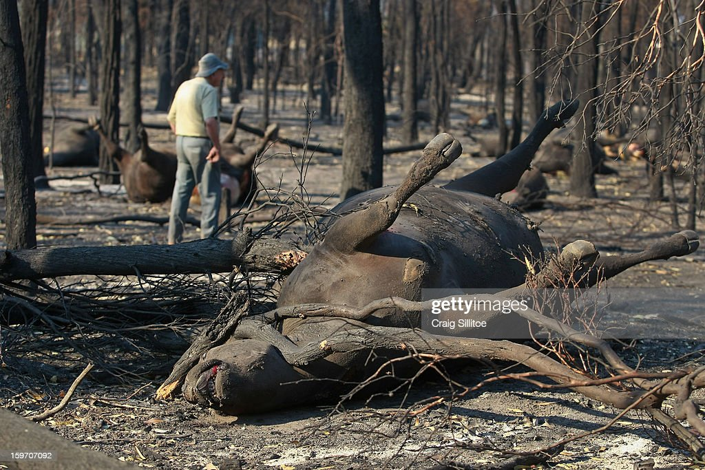Michael Dennis, 80, walks amongst the charred corpses of his pure bred Angus cattle, at his Seaton Farm on January 19, 2013 in Melbourne, Australia. Bushfires in Victoria have claimed one life and destroyed several houses as record heat continues to create extreme fire conditions throughout Australia. Mr Dennis lost at least 68 of his herd.
