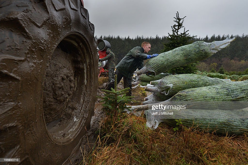 Michael Wood lifts a Christmas tree at Garrocher Tree Farm on November 10, 2012 in Creetown, Scotland. The tree grower, won the coveted title of Champion Christmas Tree Grower 2012 at the 14th Annual British Christmas Tree Growers' Association and will now deliver a sixteen foot six inch tree to take up residence outside 10 Downing Street.