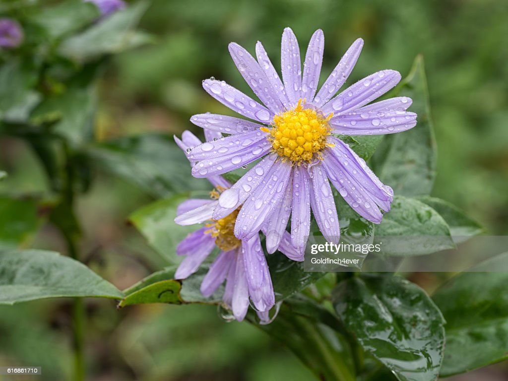 Michaelmas daisy flowers after rain. : Stock Photo
