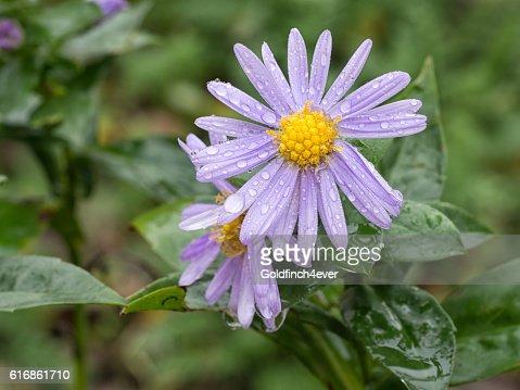 Michaelmas daisy flowers after rain. : Stock Photo