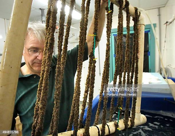 Mick Devin looks over mussels on Tuesday September 1 2015 that he is raising in the shellfish hatchery at the Darling Marine Center in Walpole Devin...