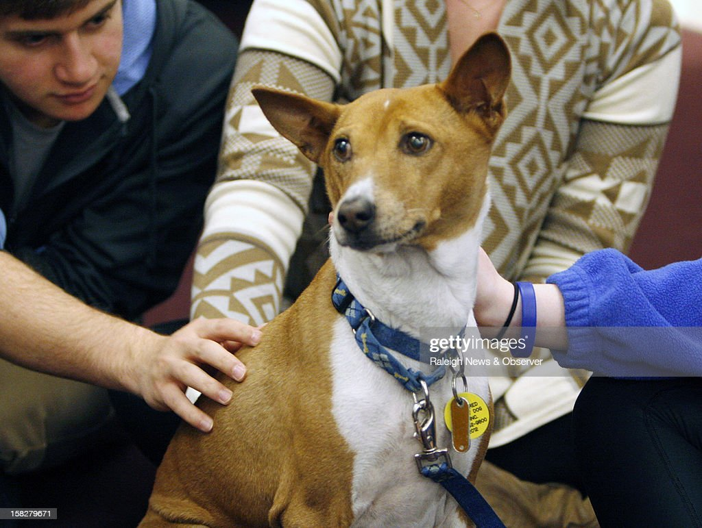 Mickey an 11yearold basenji receives lots of attention from University of North Carolina students staff and faculty at Park Library in Carroll Hall...