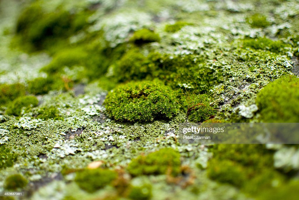 Micro algae/moss growing on rock