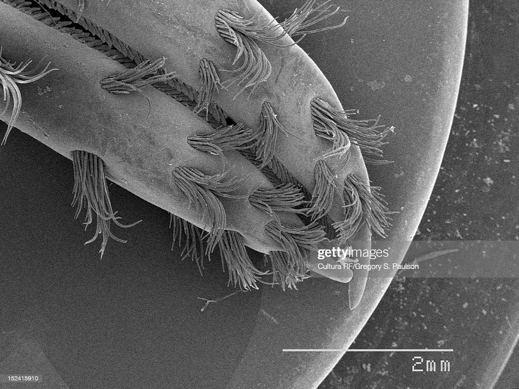 SEM Micrograph of a crawfish claws : Stock Photo