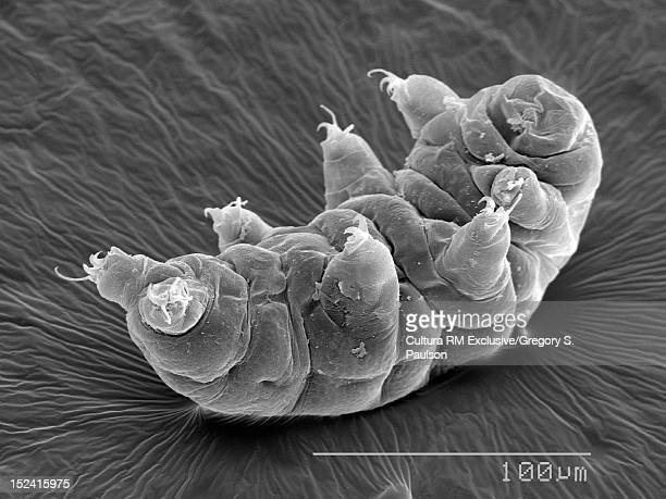 SEM Micrograph of a water bear