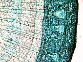 Micrograph of pine wood, light microscopy, magnification X50