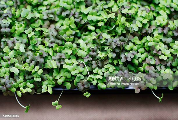Microgreens are used in the summertime potluck beet goat cheese and microgreen salad with honey orange vinaigrette prepared by Christine Burns...