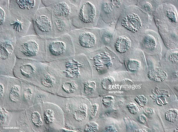 Microscope image of plant cells in various stages of mitosis