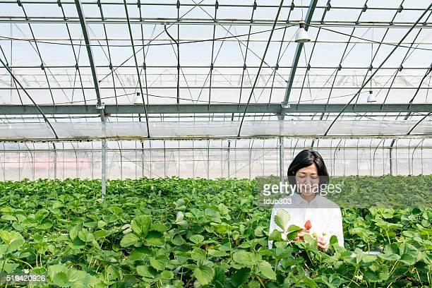 Donna di mezza età agricoltore raccogliendo fragole in una serra