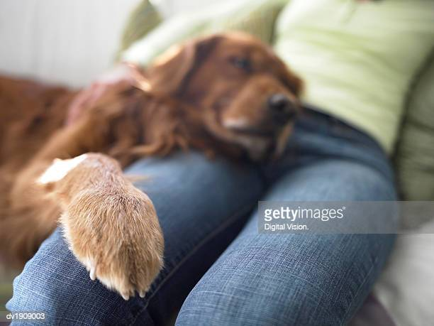 Mid Section of a Woman Sitting on a Sofa, Dog Resting His Head and Paw on Her Leg